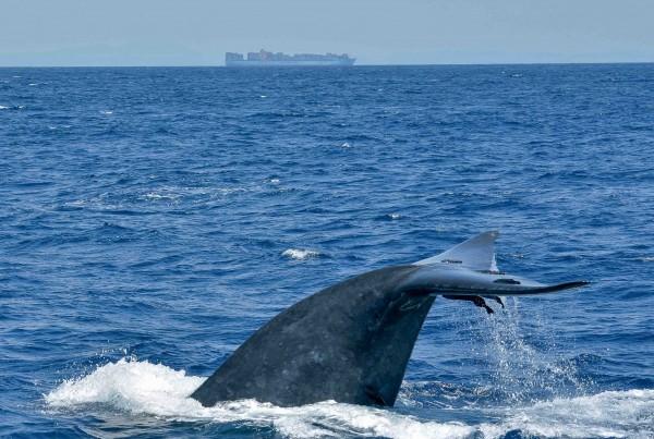 Sri Lanka - Blue Whale dives