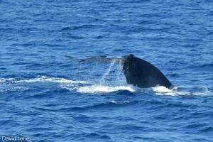 Sri Lanka - Blue Whale flukes